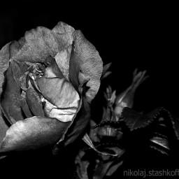 rose blackandwhite