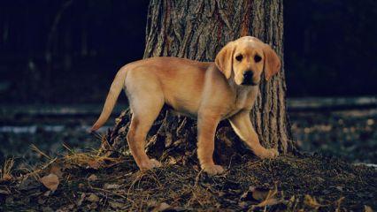 photography puppy petsandanimals lab