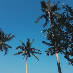 coconut trees blue nature philippines