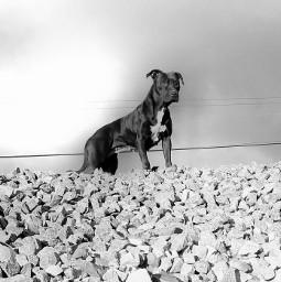 wppanimal pitbull americanpitbullterrier dog mydog