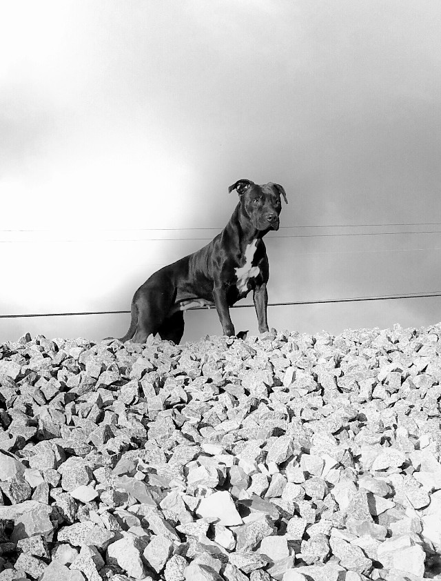 #WPPanimal #pitbull #americanpitbullterrier #dog #mydog #marea #blackandwhite