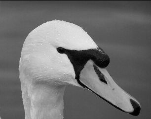 softfocus candid swan petsandanimals blackandwhite