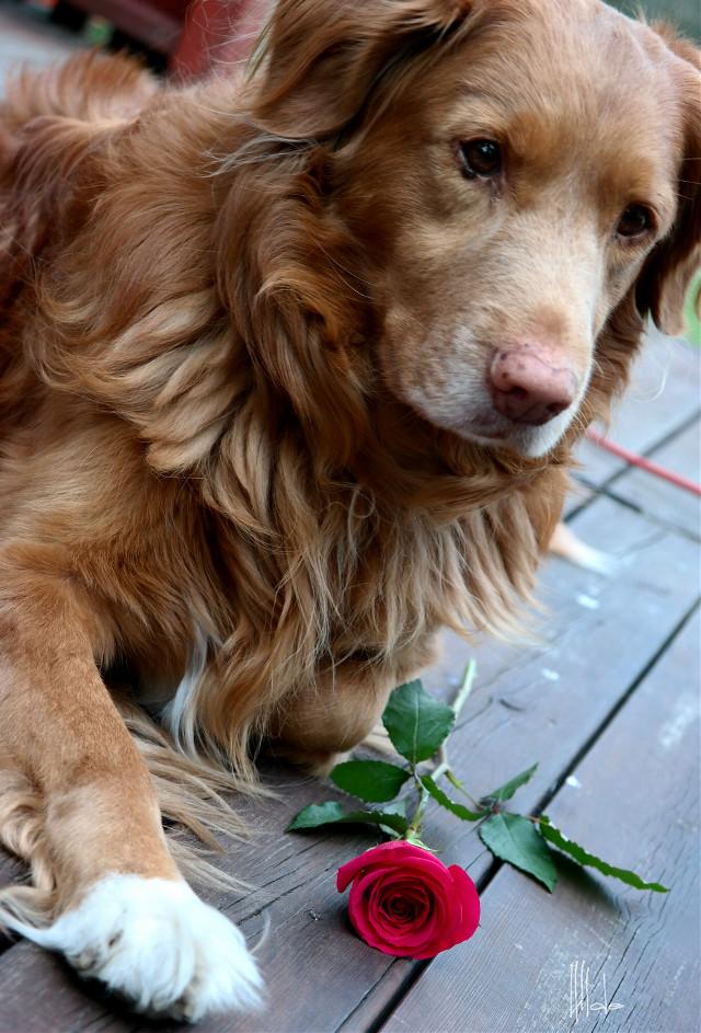 #mypet Bill #dog #petsandanimals  #rose