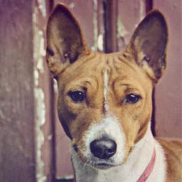 mypet basenji freya portrait dogsofpicsart