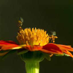 photography flower bee nature macrolover