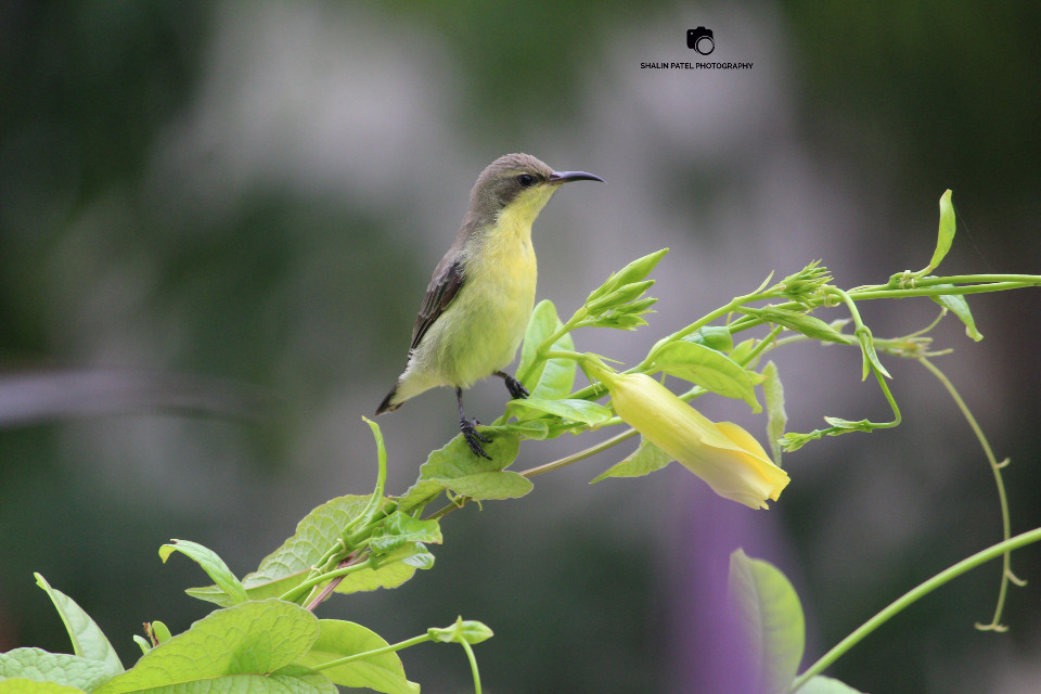 Yellow throated bird. #gardenbird #bird #photography  #nature #picofday