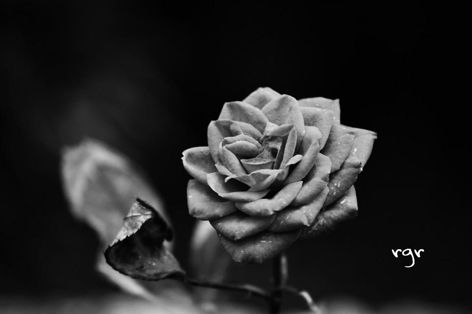 Buenas noches amig@s PicsArt ❤❤  #blackandwhite #nature #flower #photography