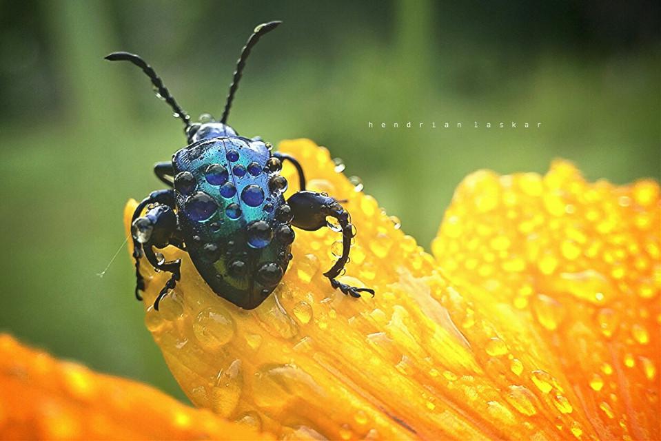 Sagra buqueti   #flower #nature #photography #macro #insect