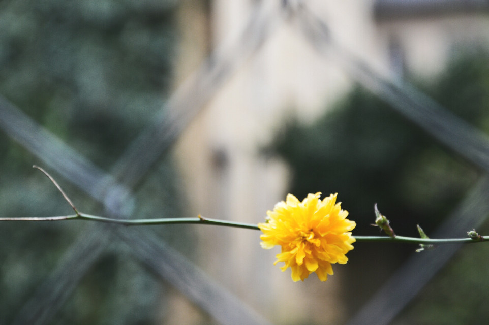 #flower #nature #spring #yellow