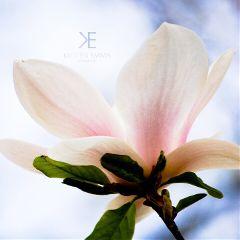 spring magnolia flower blossom pink