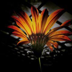 flowers splashcolor colorsplash splash flowersplash