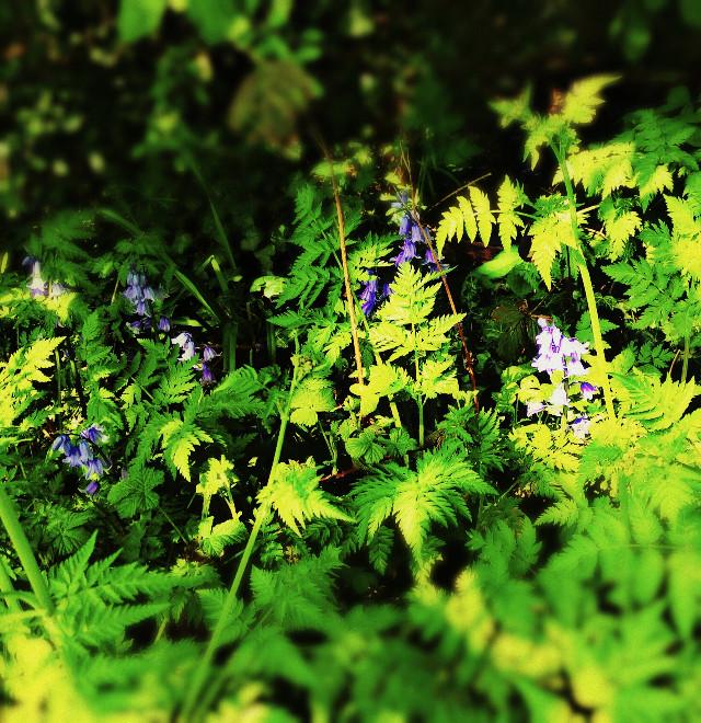 Spanish bluebells growing wild in the uk.#flowers #wild