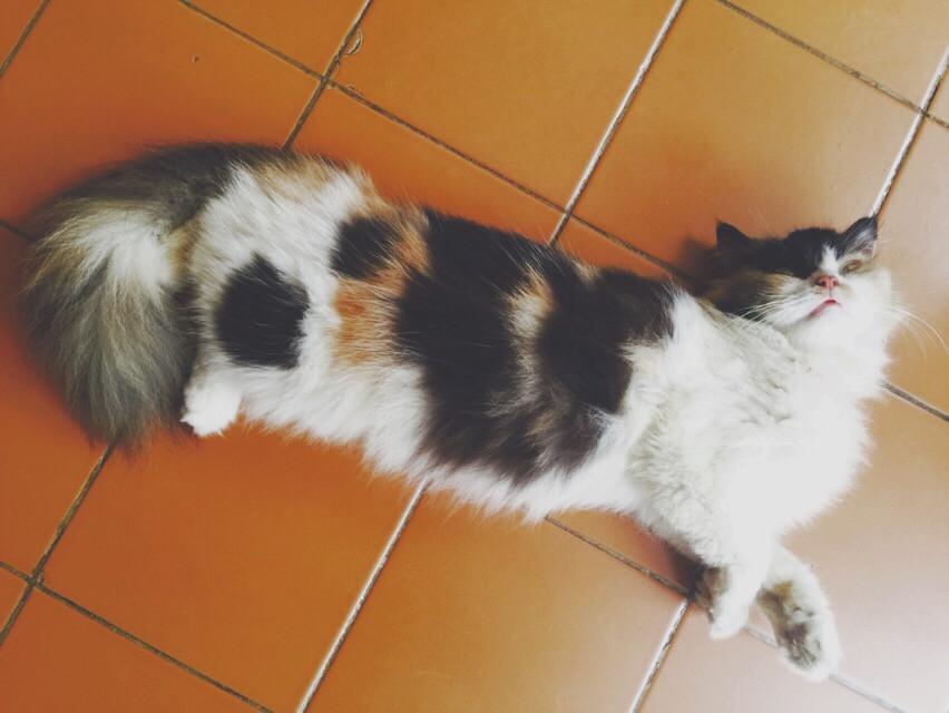 I called her Honey bee😻 #cat #cats #petsandanimals #pets #pet #beautiful #beauty #flatnose #persian #interesting #photography #picsart #freetoedit