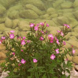 photography flowers nature pink chalklake