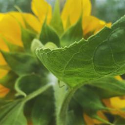 mygarden myinspiration sunflower flowers