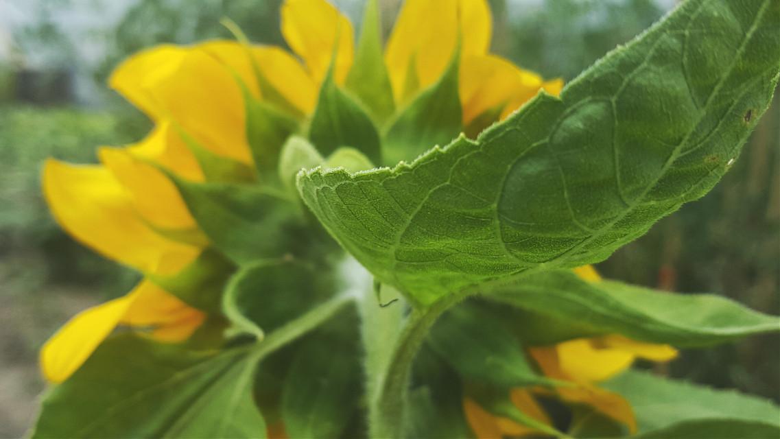 #mygarden #myinspiration #sunflower  #flowers